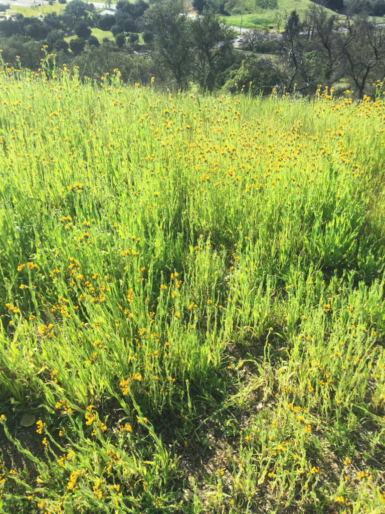 yellow flowers on king gillette ranch