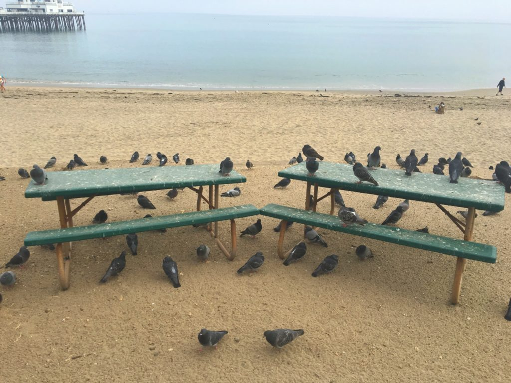 malibu pigeons taking up the beach benches