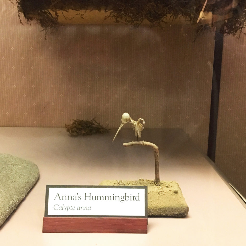 annas hummingbird skeleton display